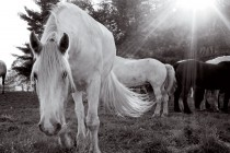 The Promised Land | Blue Star Equiculture Draft Horse Sanctuary