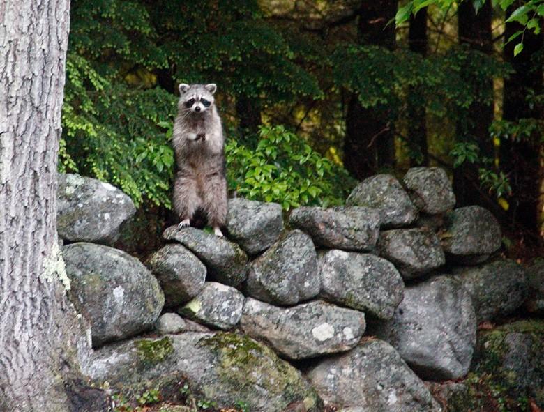 Raccoon Deterrent | 4 Ways to Keep Raccoons out of Garbage