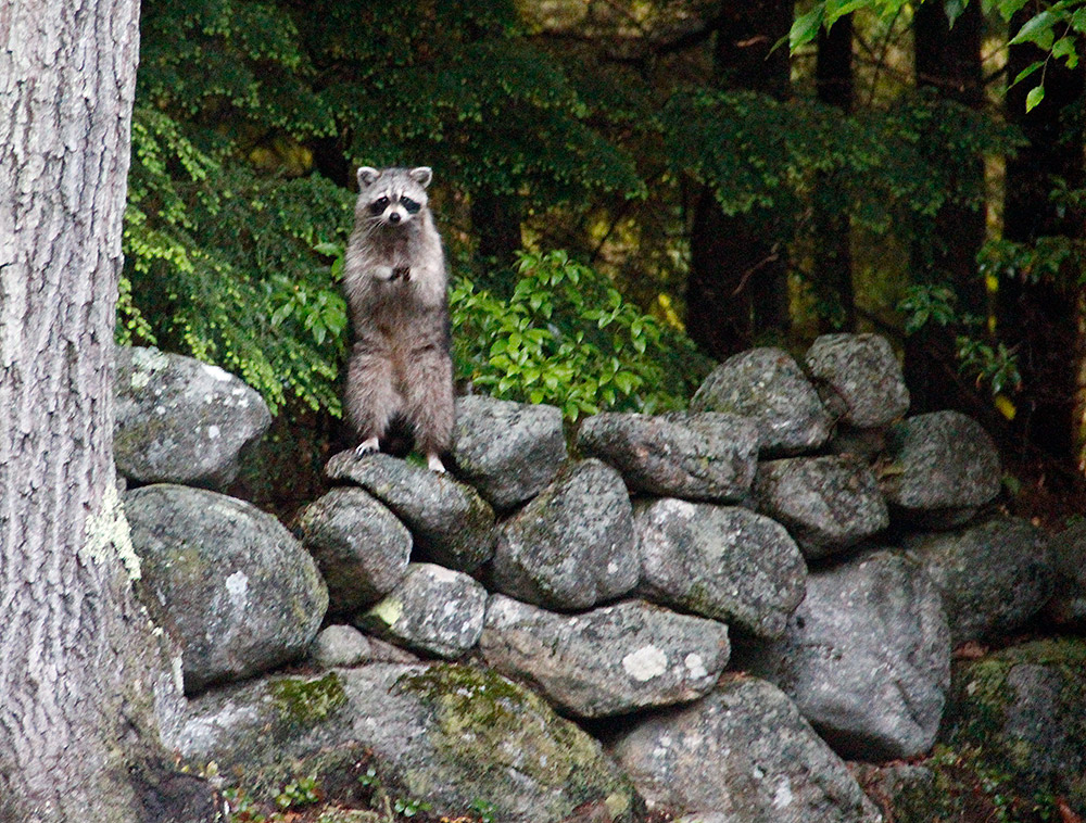 Raccoon Deterrent 4 Ways To Keep Raccoons Out Of Garbage Cans New England Today