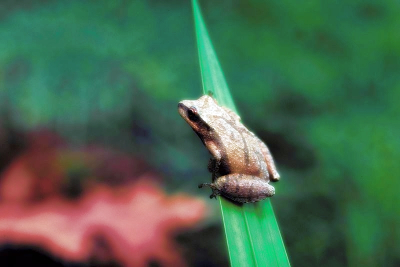 Ode to the Spring Peeper Frog | The Sound of Spring