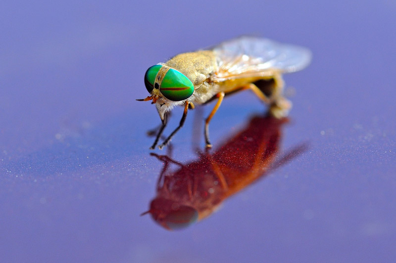 Greenhead Flies | What are Greenheads?