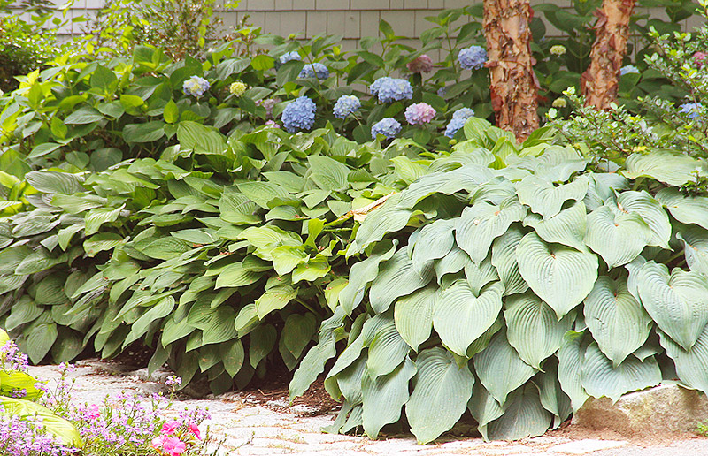 hosta plants planting care and pest advice new