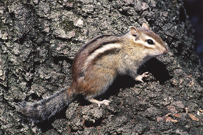 Get Rid of Chipmunks Garden Solutions New England Today