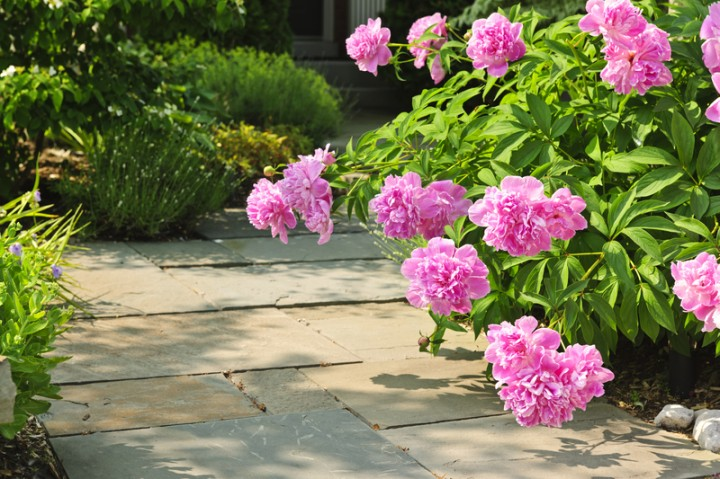 Peony Care Tips To Grow Healthy Peonies New England Today