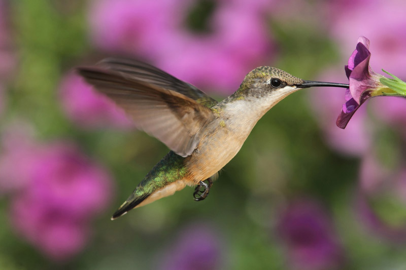 Plants That Attract Hummingbirds to the Garden