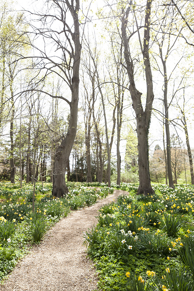 Daffodil blooms line the pathways at Blithewold in Bristol, Rhode Island.
