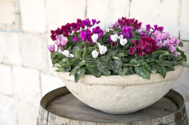 Cyclamen Care Grow Stunning Winter Houseplants New England Today