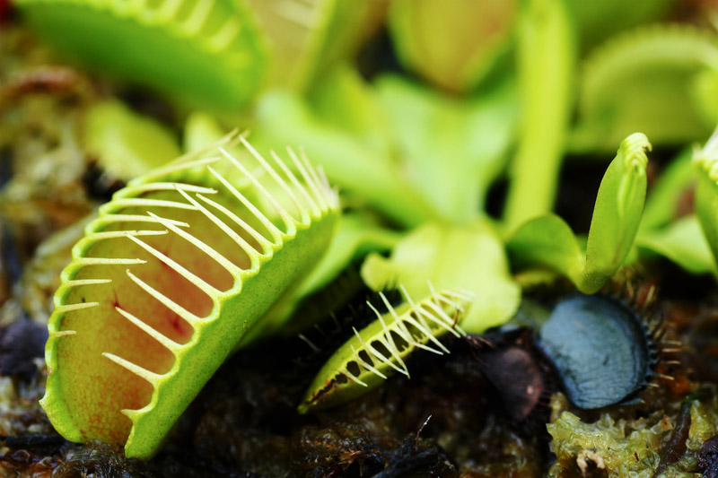 Caring For A Venus Flytrap Plant New England Today