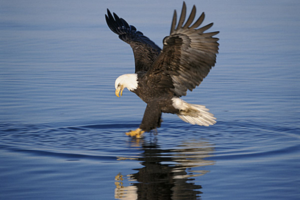 Bald Eagles Flying High With Help Of Ens New Jersey Herald
