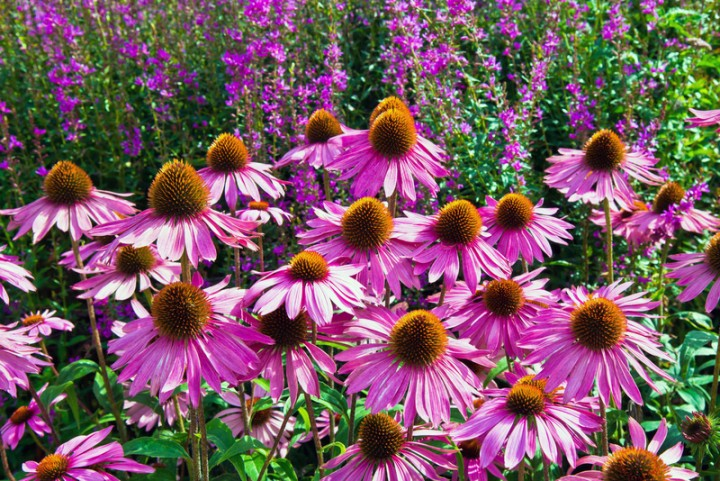 Favorite fall flowers and plants new england today purple coneflower mightylinksfo