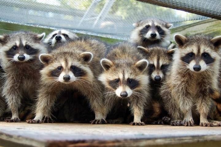 Raccoons   Common Raccoon Diseases - New England Today