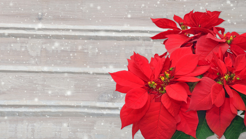 Christmas Poinsettia Care Year Round Tips New England Today