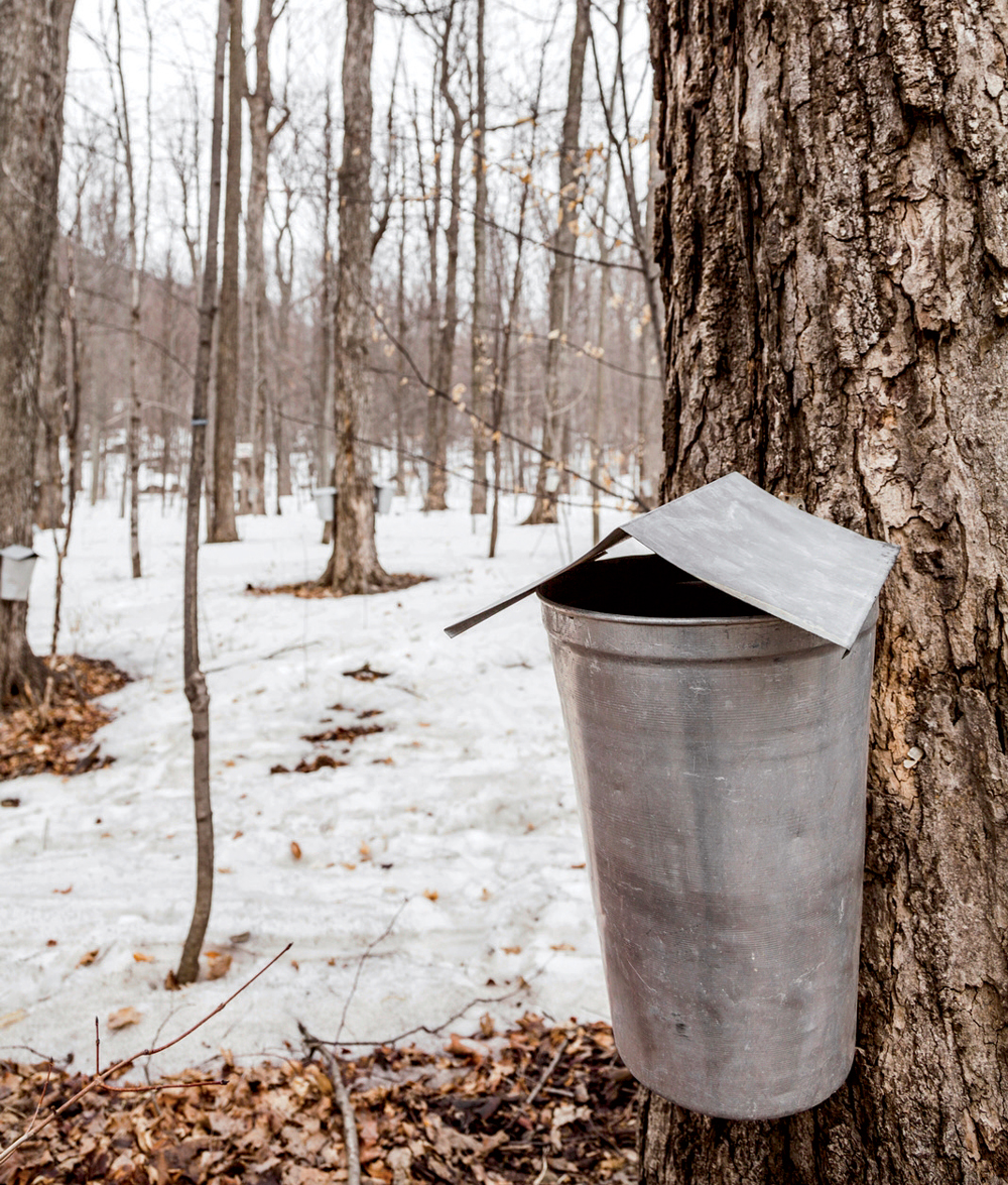 Sap Buckets Up Close New England Today