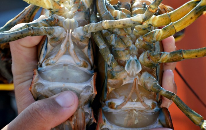 50 Shades of Lobster Red What Color are Lobsters Really