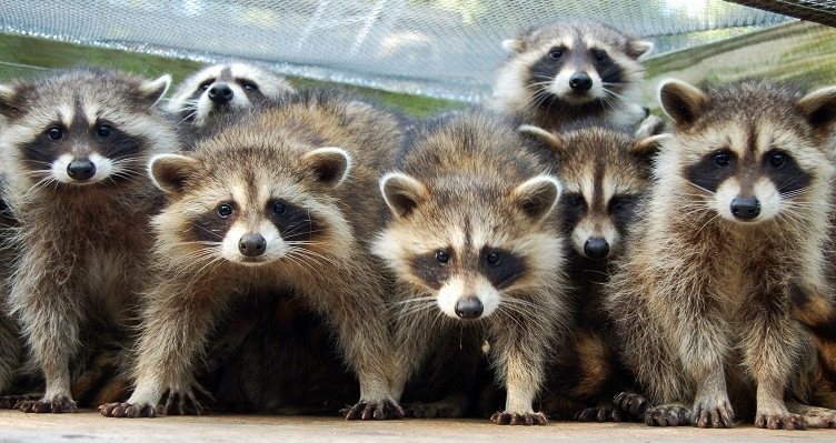how to stop raccoons from pooping on deck