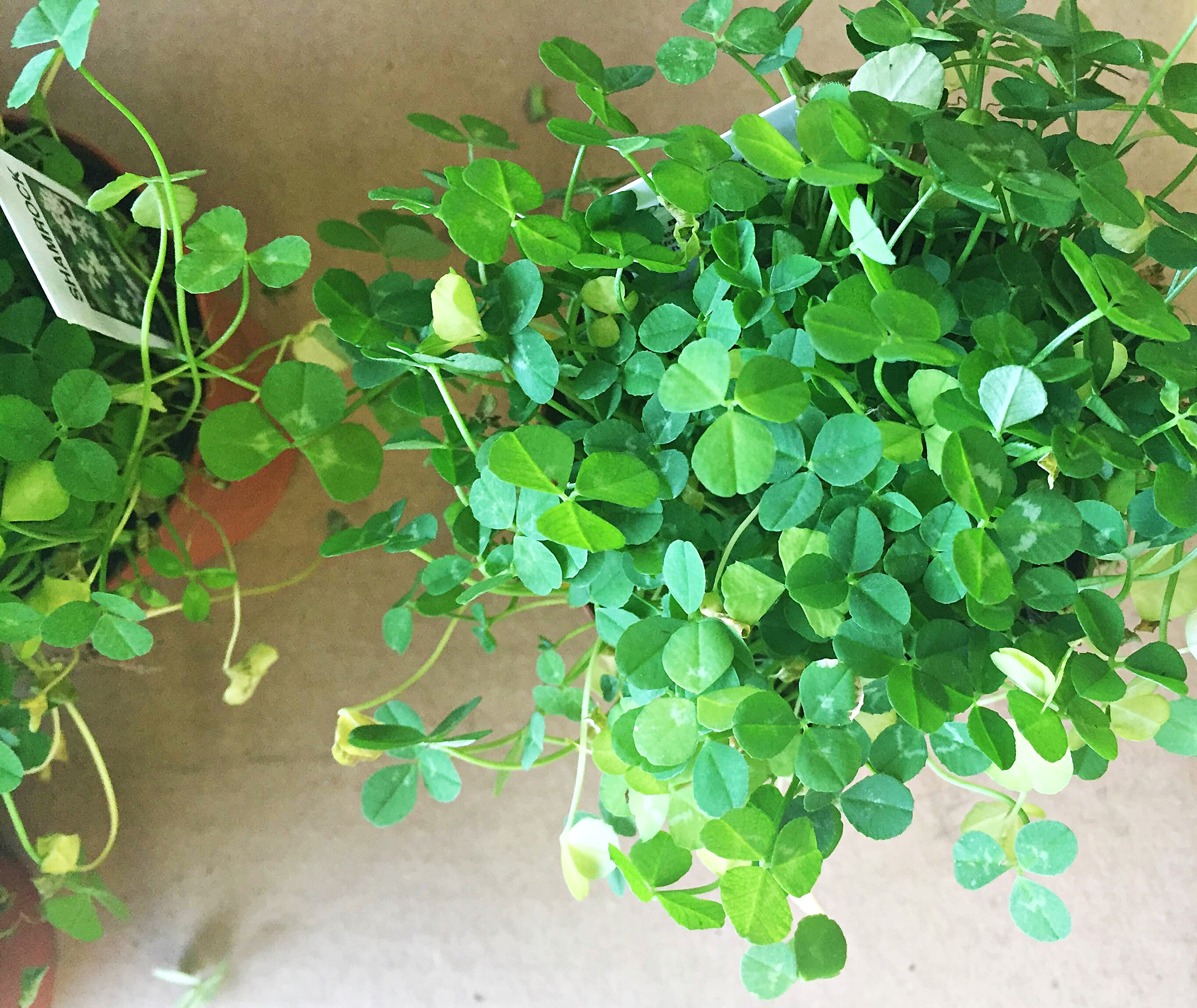 Shamrock plant care year round tips new england today voltagebd Images