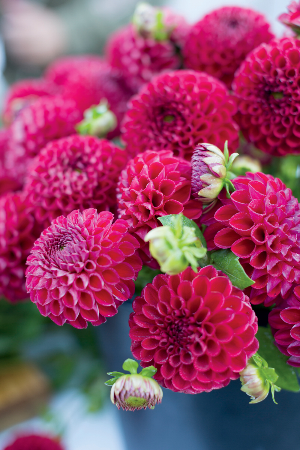 How to grow dahlias grace lams tips for growing dahlias new how to grow dahlias grace lams tips for growing dahlias new england today izmirmasajfo
