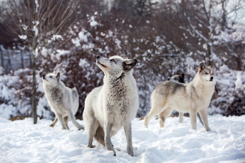 the wolves of winter first light new england today. Black Bedroom Furniture Sets. Home Design Ideas