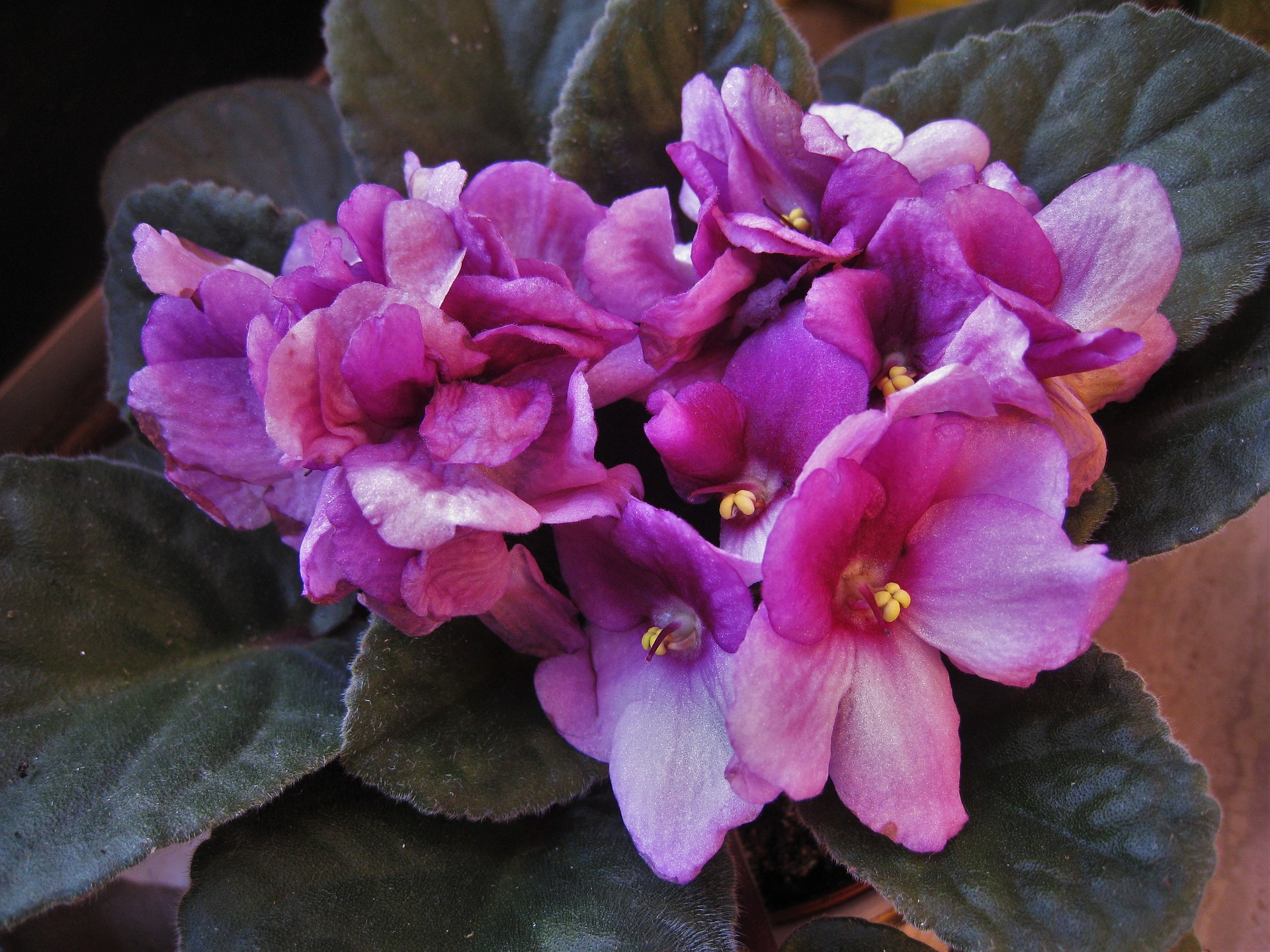 African Violets Care And Feeding How To Grow Healthy African Violets