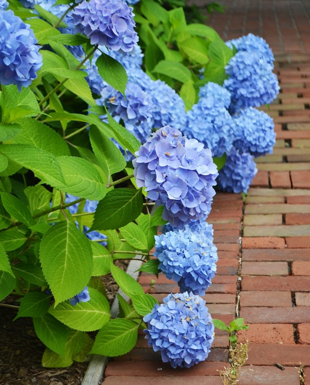 Hydrangea Care | Planting and Maintenance Tips