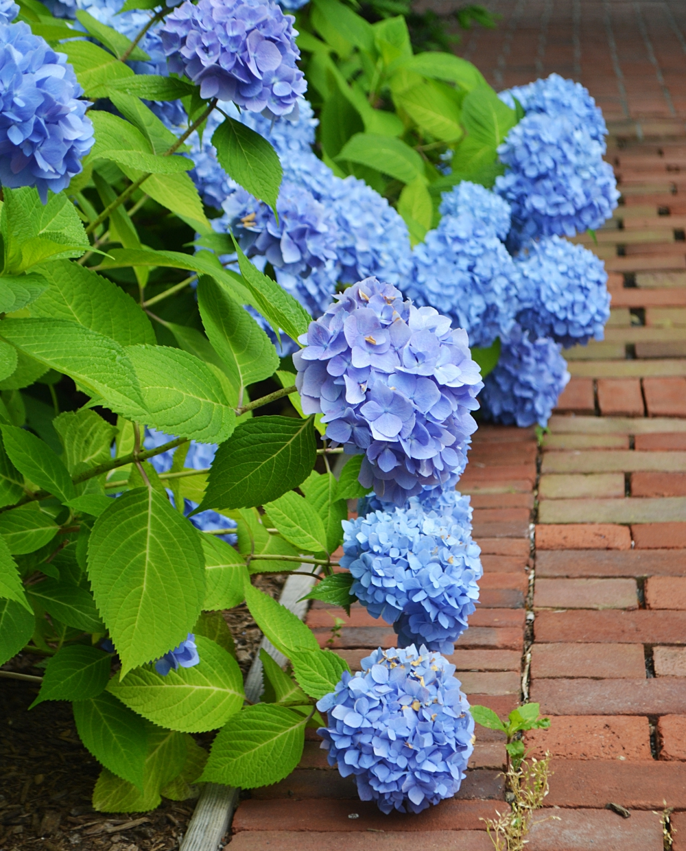 Blue Flowers 5 Popular Varieties For The Garden New England Today