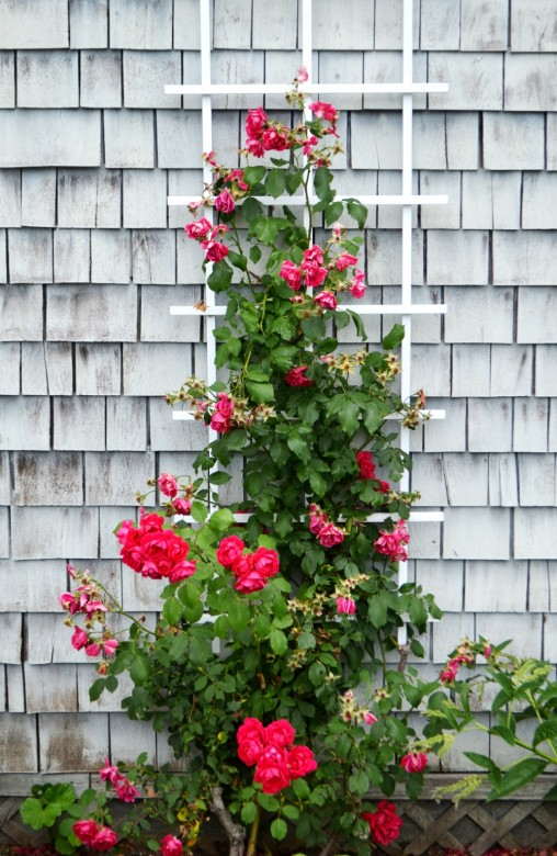 Cape Cod Rose Part - 45: Signs Of Cape Cod Include Weathered Shingles And Beach Roses.