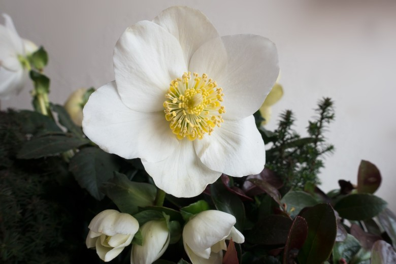 The christmas rose hellebores niger new england today the christmas rose in praise of hellebores niger mightylinksfo
