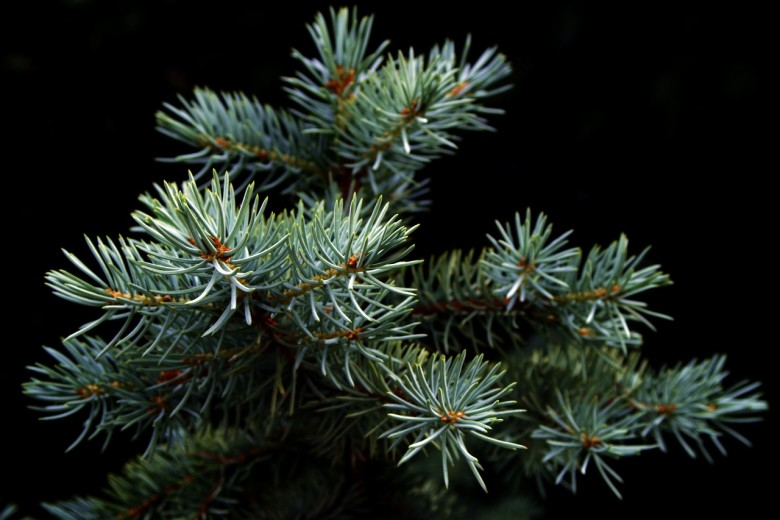 favorite new england christmas tree species - Type Of Christmas Trees