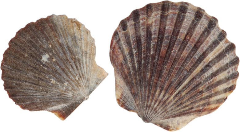 """How to Pronounce """"Scallop"""" │ New England Dialect"""