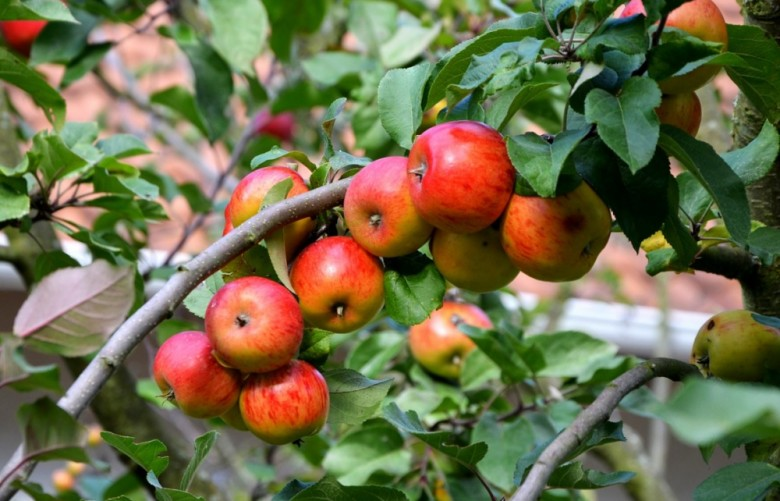 How To Prune Apple Trees New England Today
