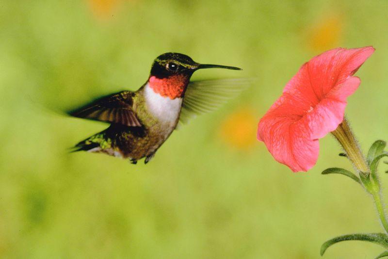 Atraer Colibríes - Usando Las Mejores Flores Y Plantas Amadas