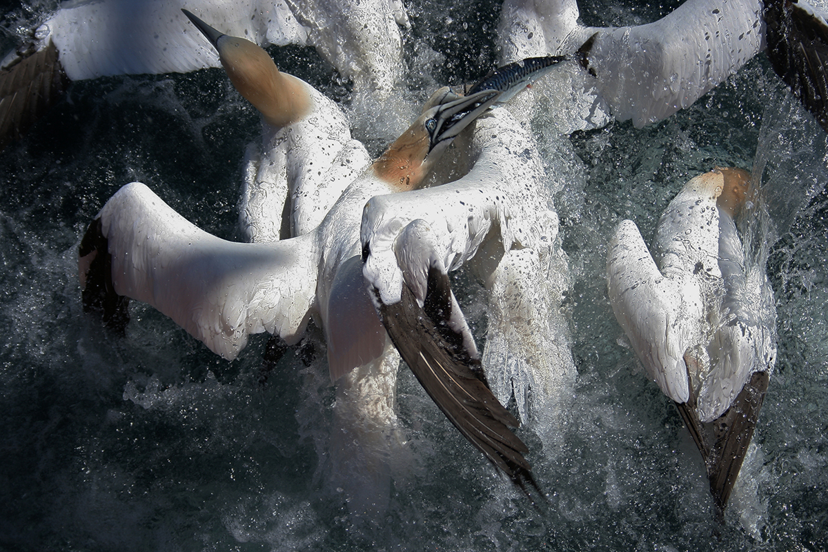 Gannets This is an image of gannets fighting for a mackerel that had escaped the net. F/V Jeanne McCausland - Portsmouth, NH