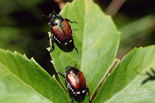 garden pest. Japanese Beetles Are A Common Garden Pest. Use Marigolds To Lure Them Away From Your Pest