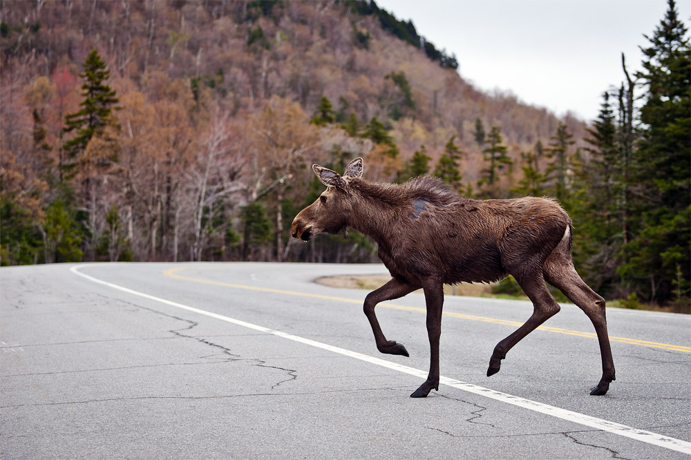 Moose-Watching Advice | How, When & Where to Spot a Moose in