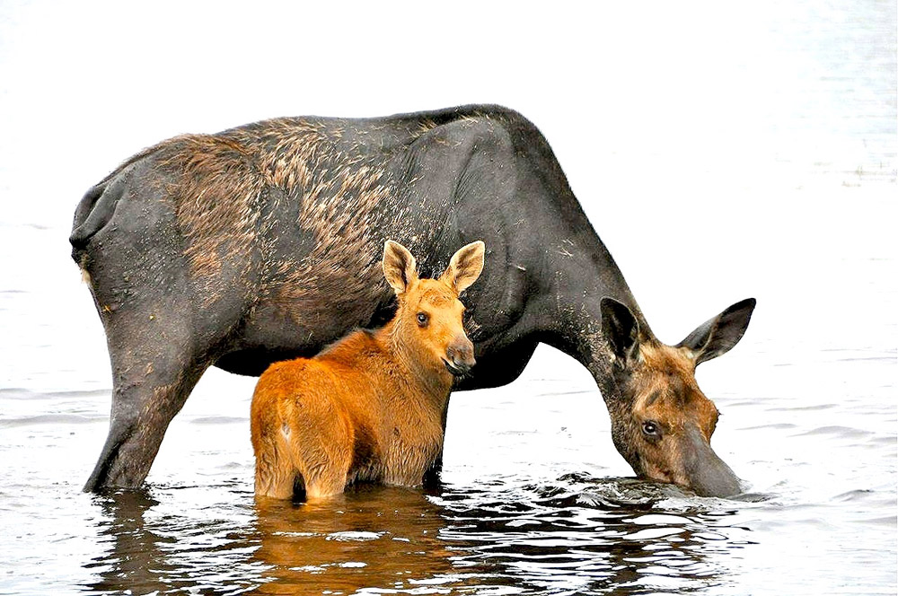 Mama and Baby Moose in Rockwood, Maine