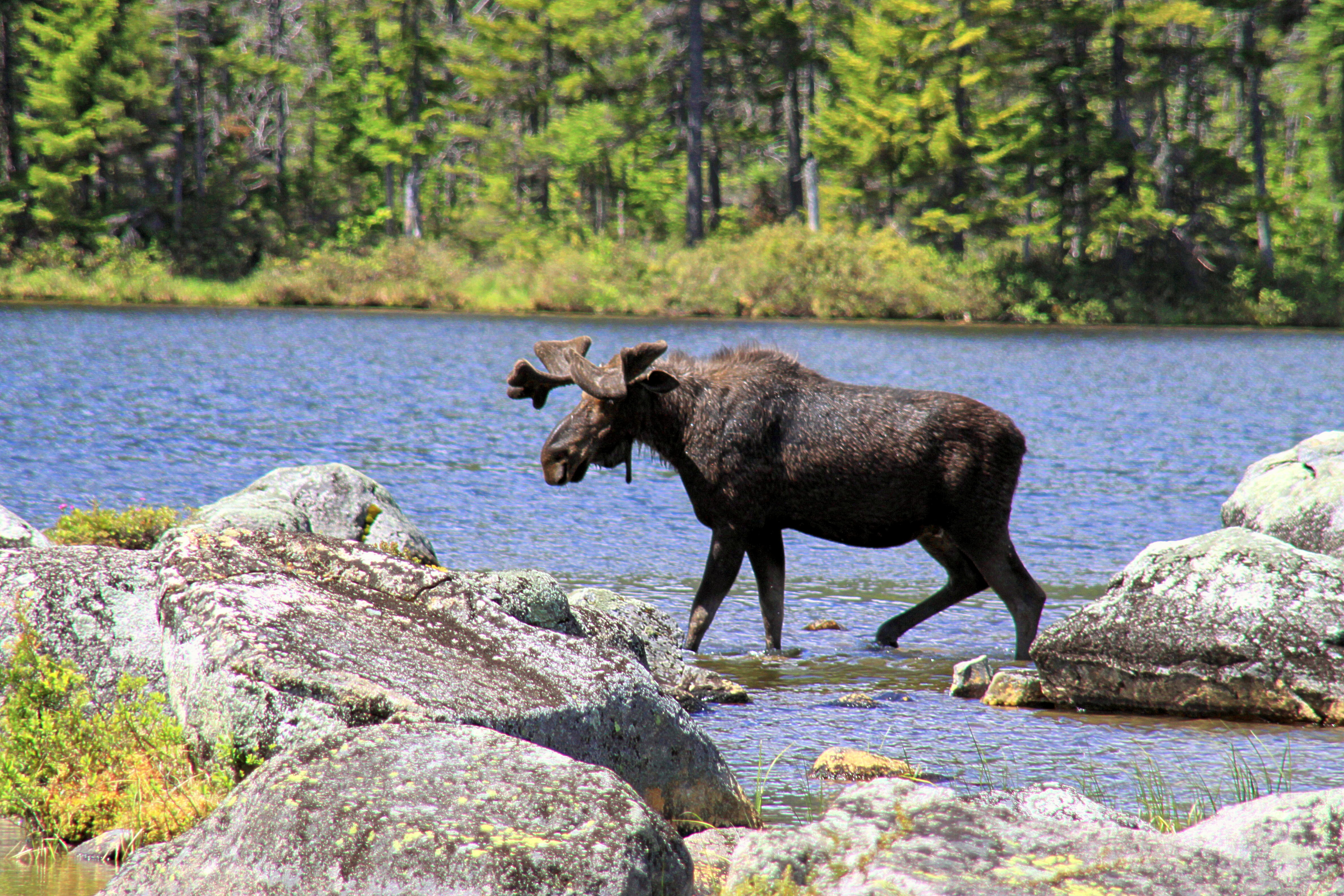 Moose In New England Moose Images New England Today