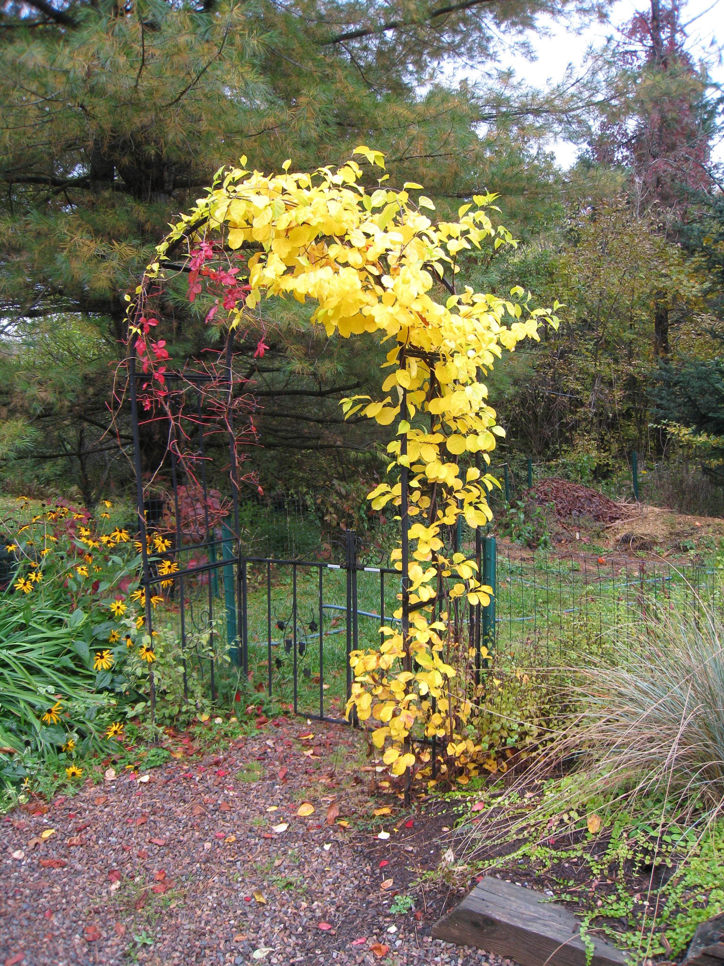 Yellow Vine New England Today