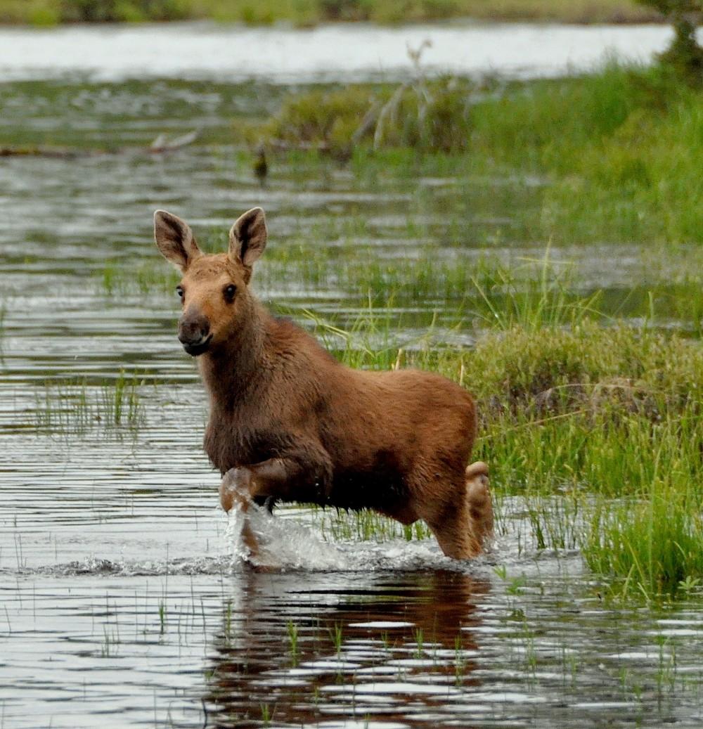 Baby Moose in Rockwood, Maine