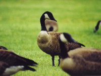 Geese in the Berkshires (user submitted)