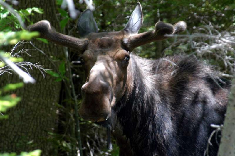 Moose in Bretton Woods, New Hampshire