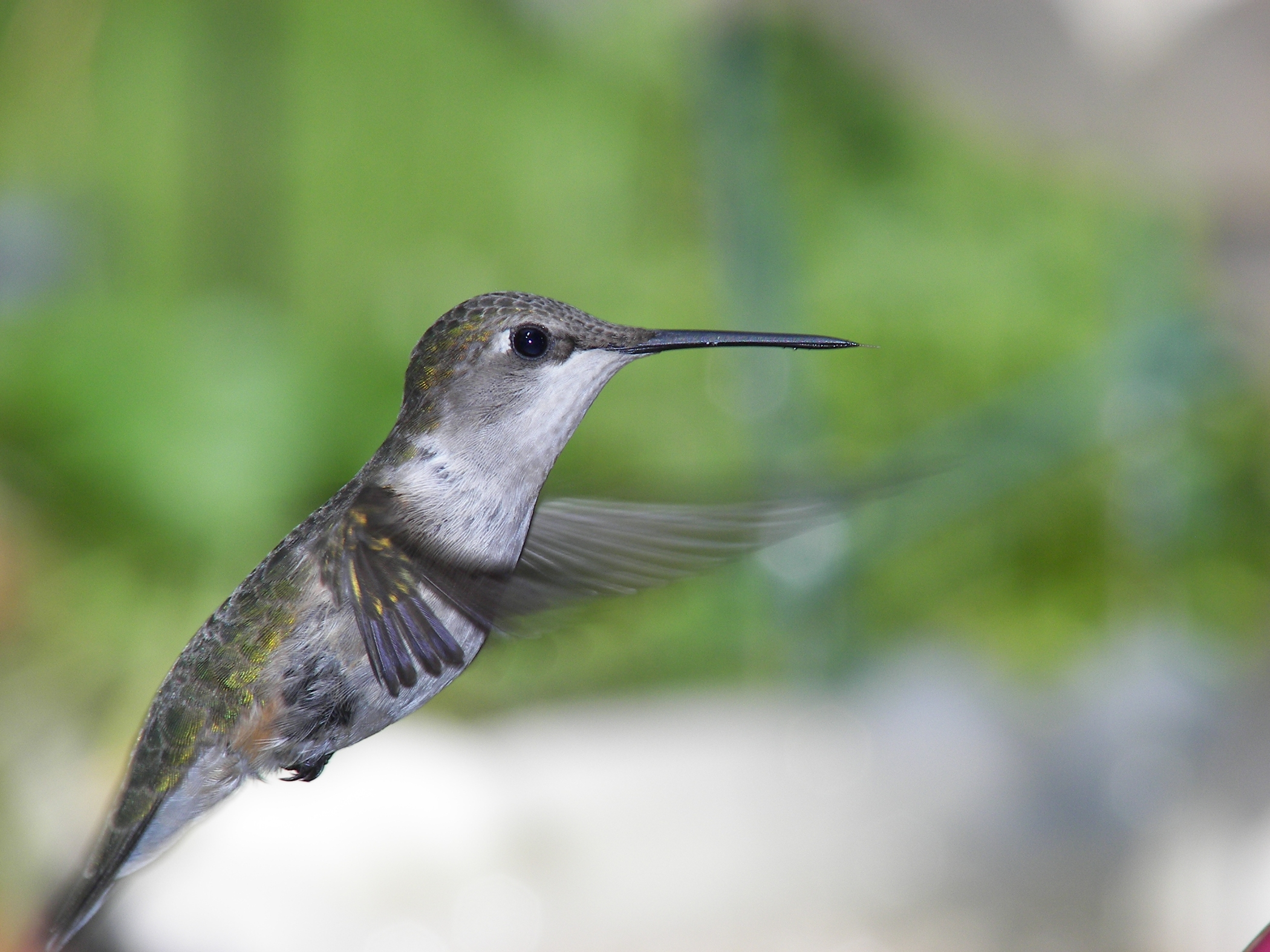 plants that attract hummingbirds to the garden new england today