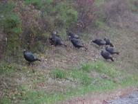 Wild  Turkeys (user submitted)