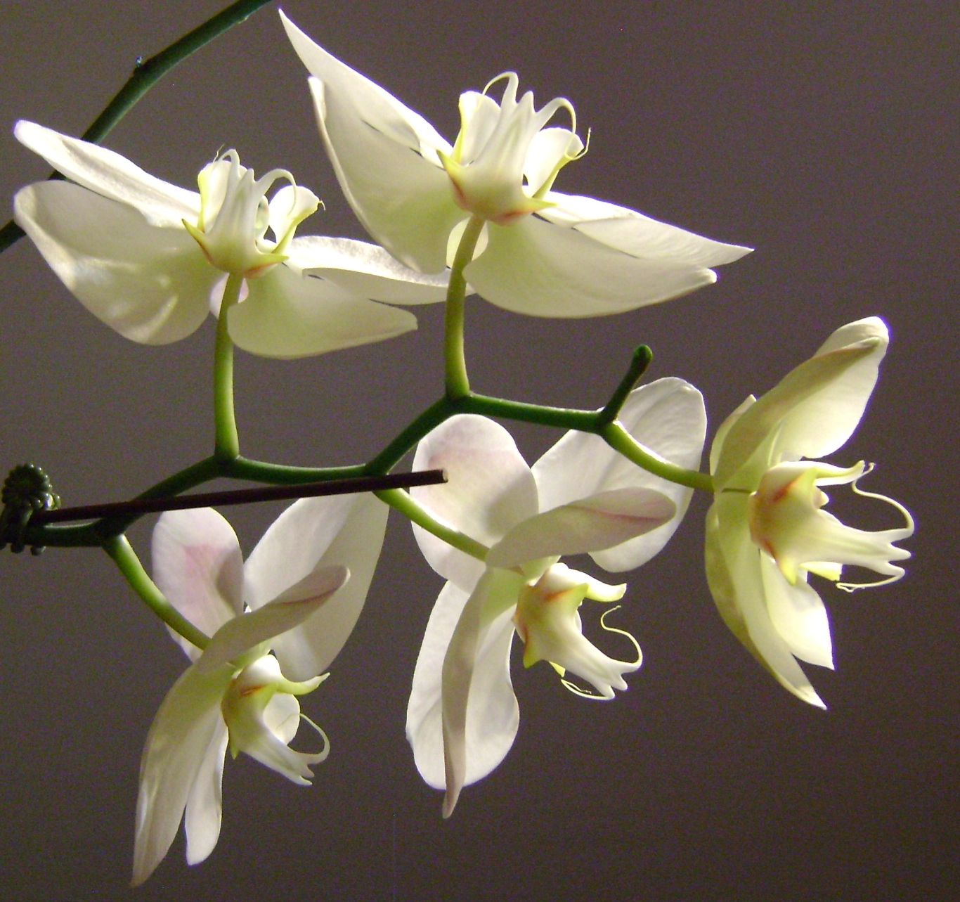 White Jade Orchids New England Today