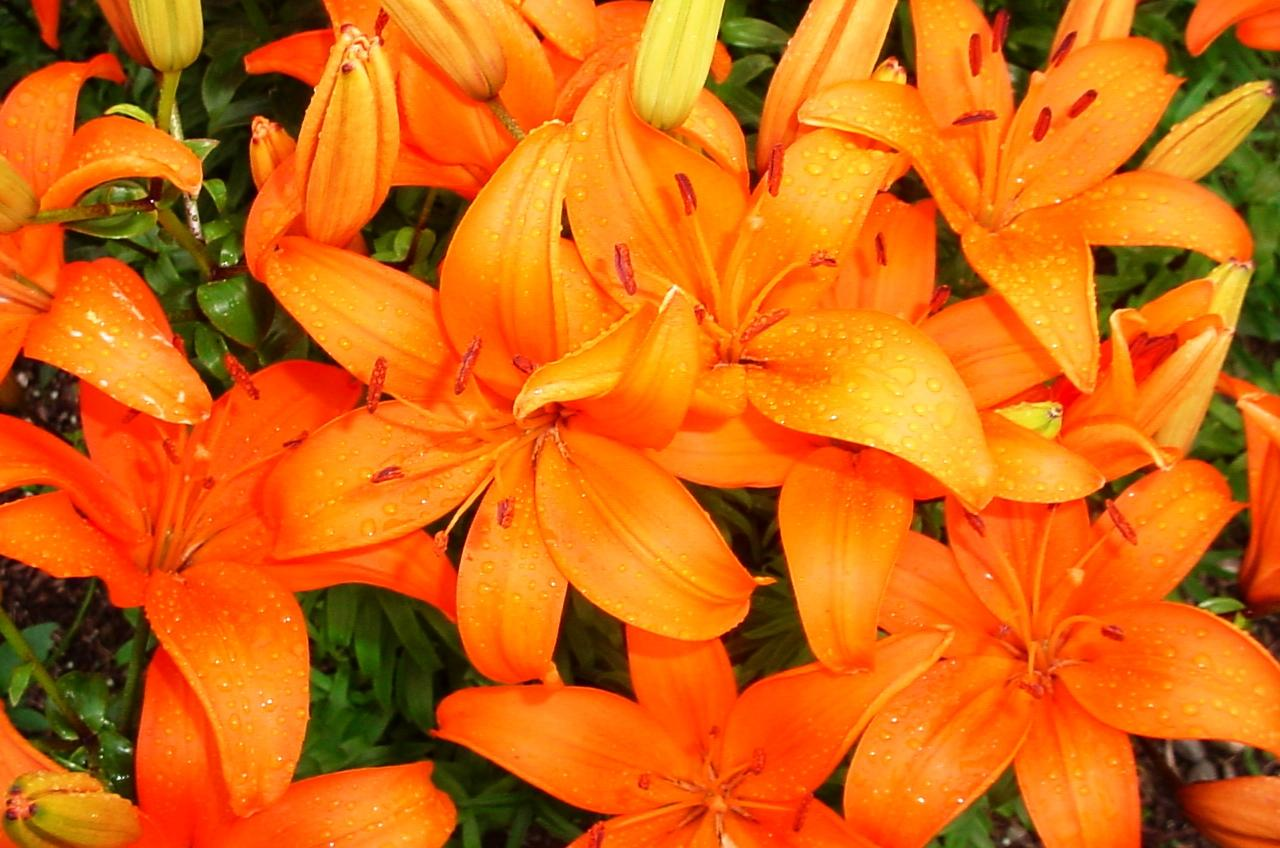 Lilies new england today lilies izmirmasajfo