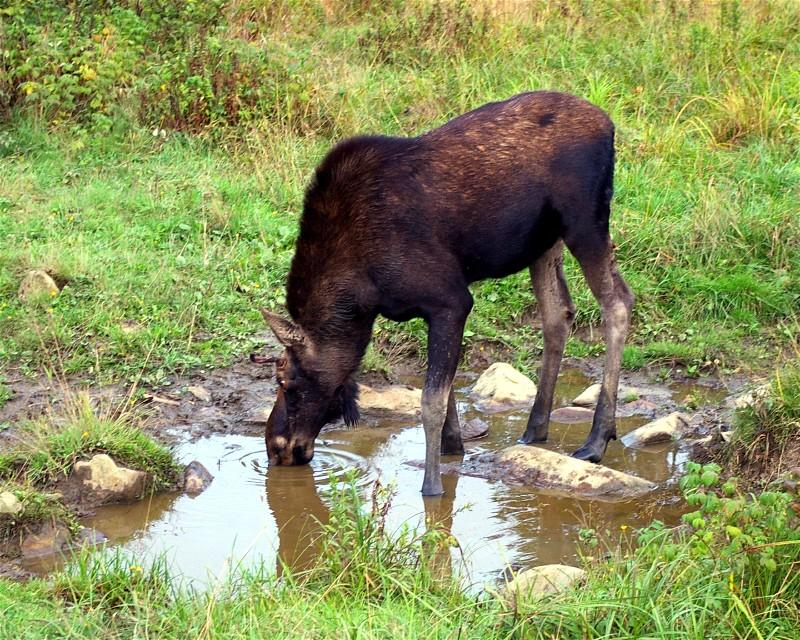 Young Bull Moose in Pittsburg, New Hampshire
