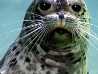 Harbor Seal at Roger Williams Park Zoo (user submitted)