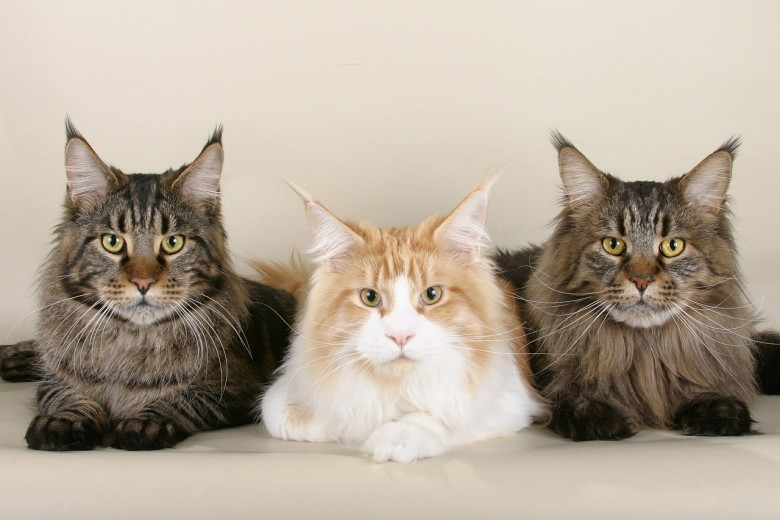 Maine Coon Cat | Trivia & Fun Facts - New England Today