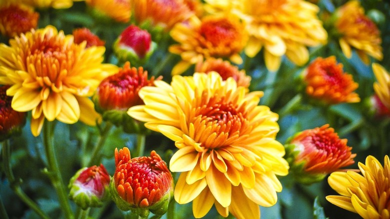 How To Make Mums Last Longer Gardening Advice