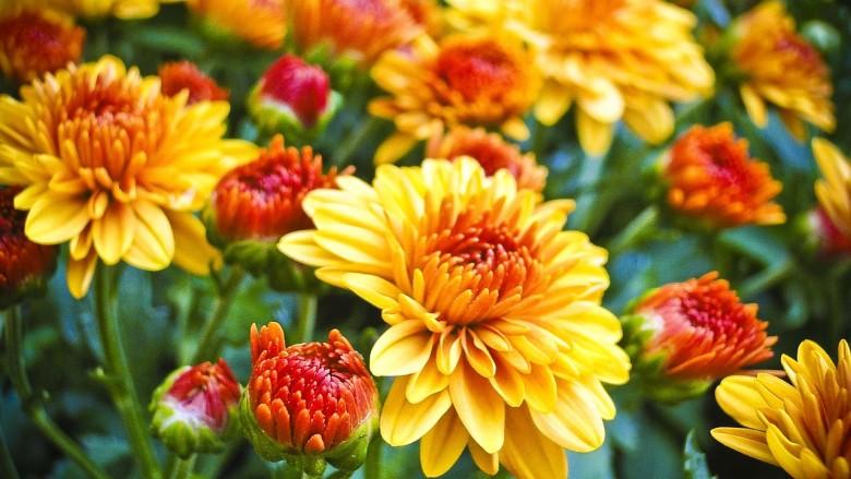 How to Make Mums Last Longer | Gardening Advice