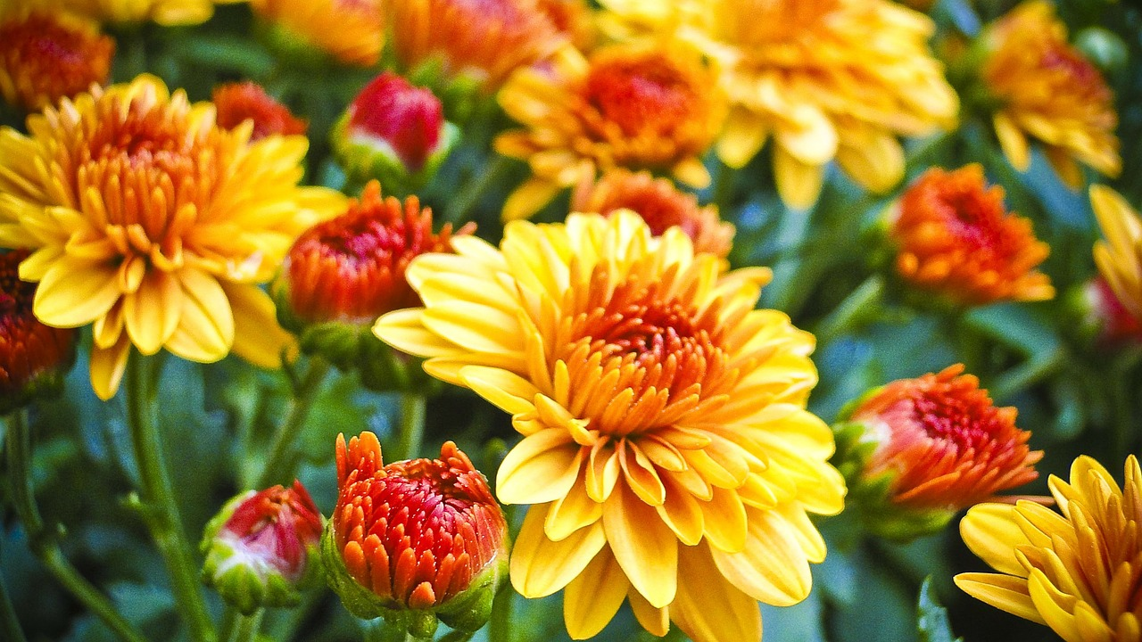 How To Make Mums Last Longer Gardening Advice New